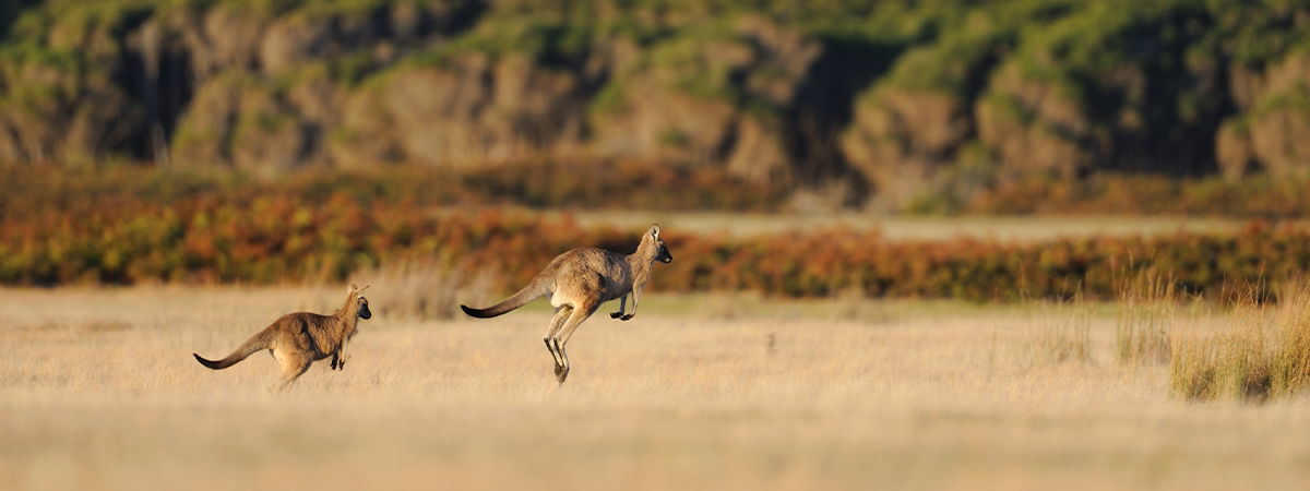 Two kangaroos hopping through the Australian Outback