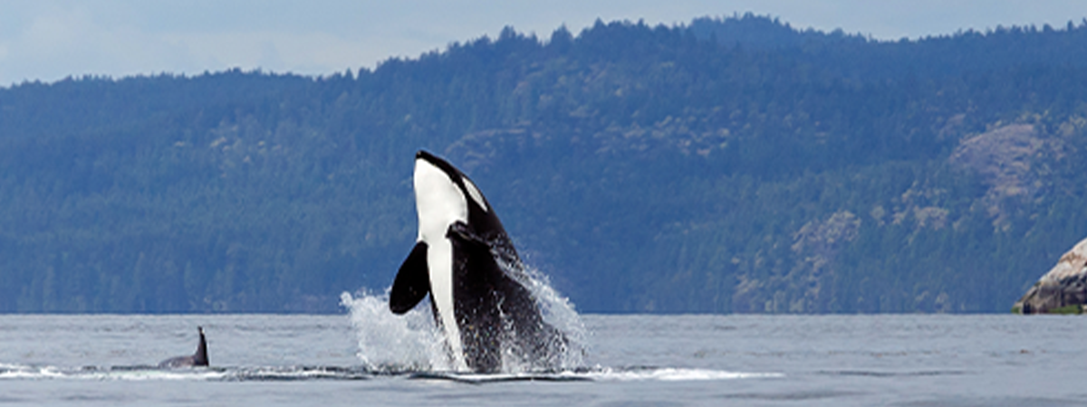 Orca whale breaching the surface of the water