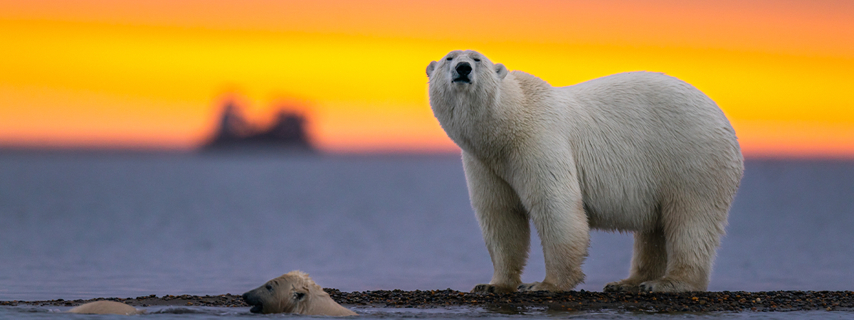 Polar bear standing on the shore during sunset