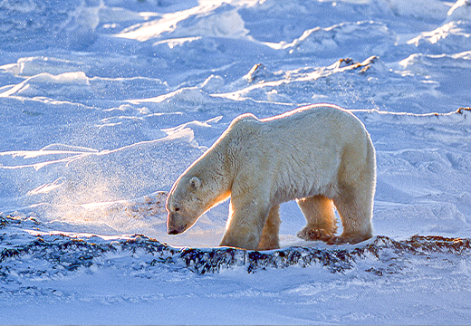 Polar Bear walking in Churchill, MB