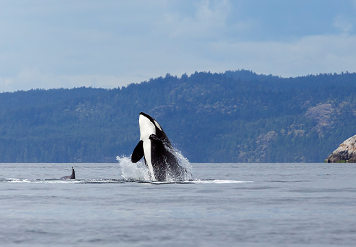 An orca whale breaching the surface of the water